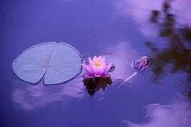 lotus-1205631__180